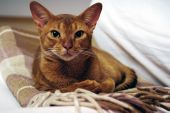 Abyssinian Red Cat