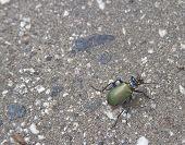 Fiery Searcher Beetle