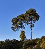 Scotlands Lonesome Pines