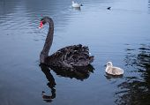 Mother & Her Swanling