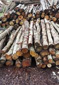 Pile of Timber Logs in Pine Forest