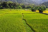 Rice Field Near Mountain In Chiangmai Thailand