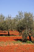 stock photo of rich soil  - Olive grove with rich red soil Near Fuente del Piedra Malaga Province Andalucia Spain - JPG