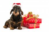 picture of bow-legged  - Wire haired dachshund with red hat of Santa Claus isolated over white background - JPG