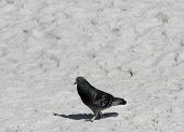 Pigeon Searching the Beach for Food