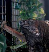 Iguana Watching the Onlookers