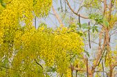 foto of vishu  - Cassia fistula flower blooming on tree  - JPG