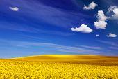 stock photo of rape-field  - Spring field of yellow flowers - JPG