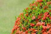Ixora  Flower In Garden
