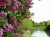 foto of boise  - Lilacs bloom during spring in a Boise City Park - JPG