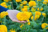 feminine hand holding marigold