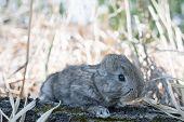 Cottontail bunny rabbit eating grass