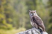 The Great Horned Owl Bubo Virginianus