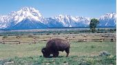 Buffalo At Tetons