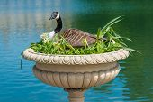 Canadian Goose Nesting In Decorative Vase