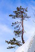 Winter Pine On The Mountain