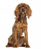 Cavalier King Charles Spaniel puppy sitting (5 months old)