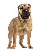 standing Shar Pei (15 months old)