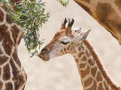 Young Giraffe Eating