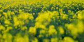 Defocused Image Of A Rapeseed Field Background