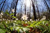Snowdrop Anemone Flowers In Bright Sunshine