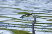 pic of bluegill  - Bluegill gets Caught by a Great Blue Heron - JPG