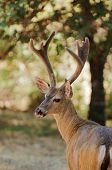 stock photo of black tail deer  - Californian Black - JPG