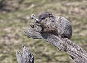 stock photo of groundhog day  - Young - JPG
