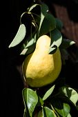 ripe pear on the tree in sunshine, close-up