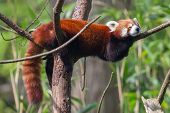foto of herbivore animal  - Red Panda Firefox or Lesser Panda  - JPG