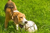 Beagle dog playing ball