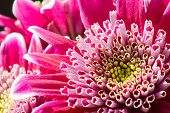 Close up image of dark pink chrysanthemum flowers
