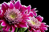 stock photo of chrysanthemum  - Close up image of dark pink chrysanthemum flowers on black - JPG