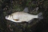 Common Bream.