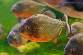 picture of piranha  - Red piranha or Serrasalmus nattereri in aquarium Barcelona Spain - JPG