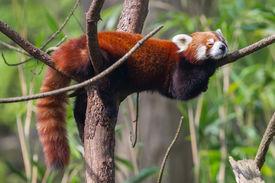 image of panda  - Red Panda Firefox or Lesser Panda  - JPG