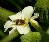 Tawny Mining Bee male