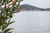 Olive Tree With Sea And City As Background