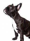 French Bulldog Puppy Brindle