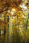 Sun Beams Lit Through Yellow Crown In Autumn