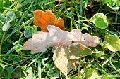 Frozen Oak Leaves In Green Grass In Autumn