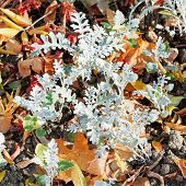Jacobaea Maritima Silverdust And Leaf Litter