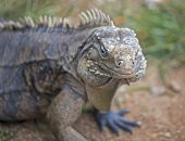 picture of nostril  - Cuban iguana at Guama in Cuba  Shallow depth of field, focus on the nostril ** Note: Shallow depth of field - JPG