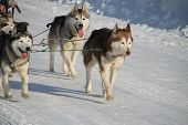 Team Husky Dogs