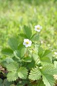 Wild Srawberry  Plant With Flowers