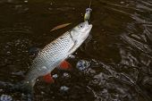 picture of chub  - Chub caught on a plastic bait in clear water - JPG