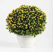 Pot Of Yellow Flowering Chrysanthemums