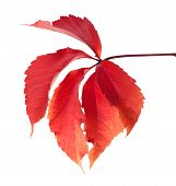 Red Autumn Virginia Creeper Leaves