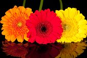 some colorflul flowers of gerbera on black background
