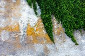 stock photo of ivy  - Old concrete wall with the green ivy - JPG